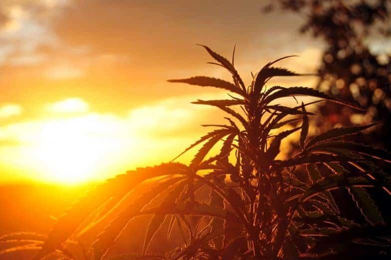 Marijuana Business Law California